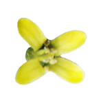 cameline-fleur