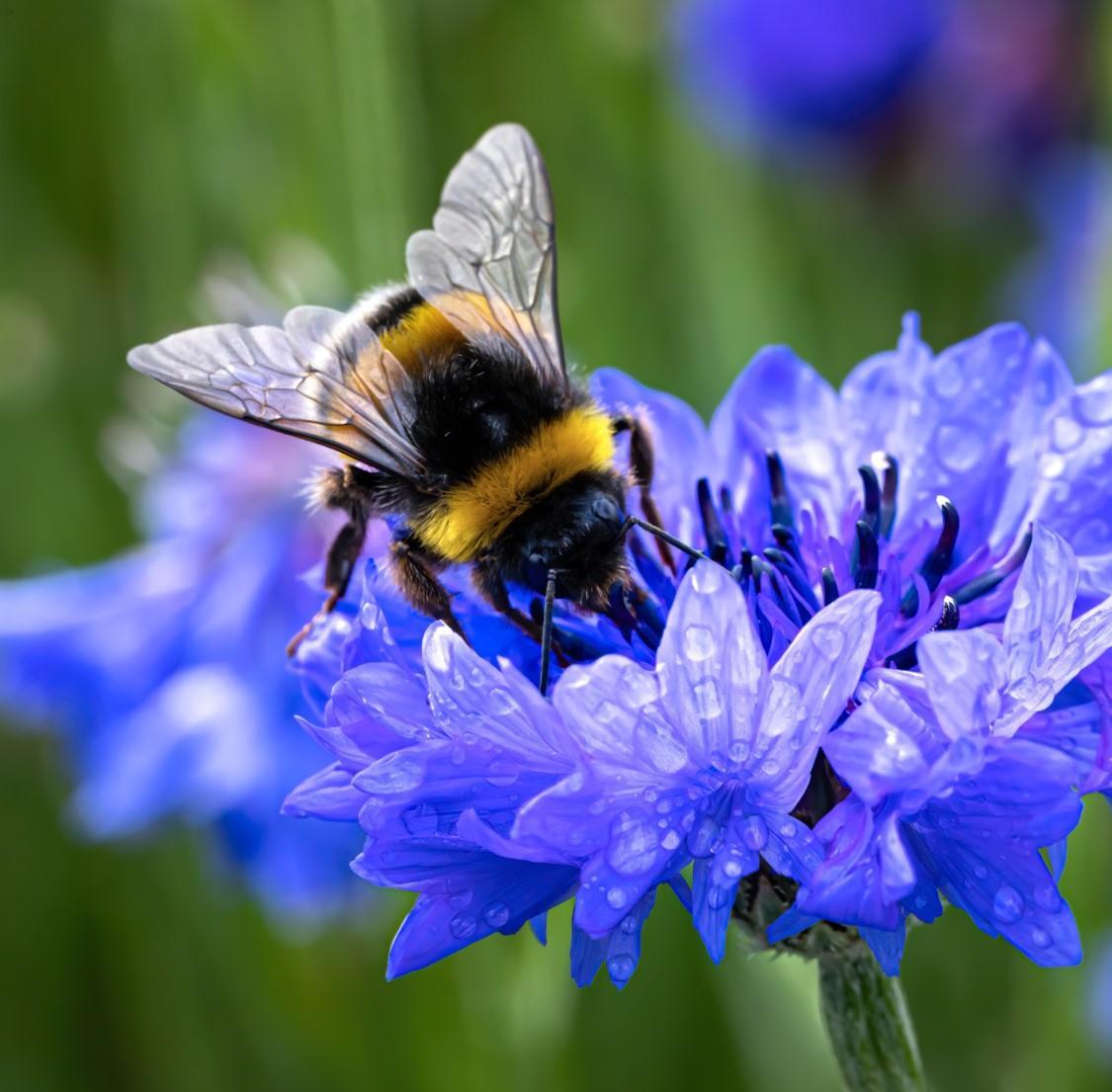 Pollinisation des fleurs par abeille