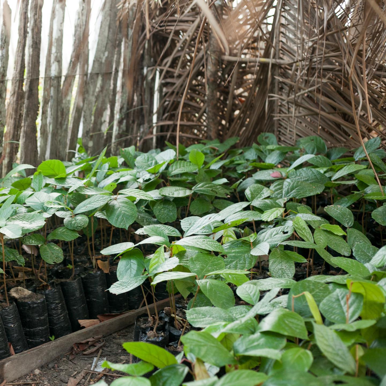 Cupuaçu bio, nursery, agroforesterie, communauté, Amazonie
