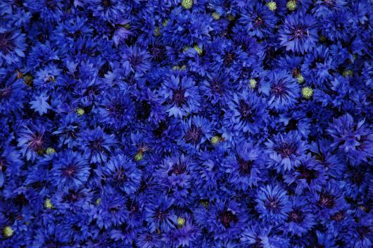 récolte-du-bleuet
