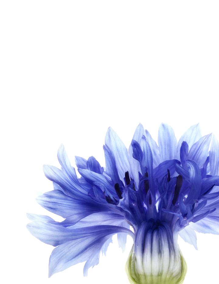 centaurée botanique droite