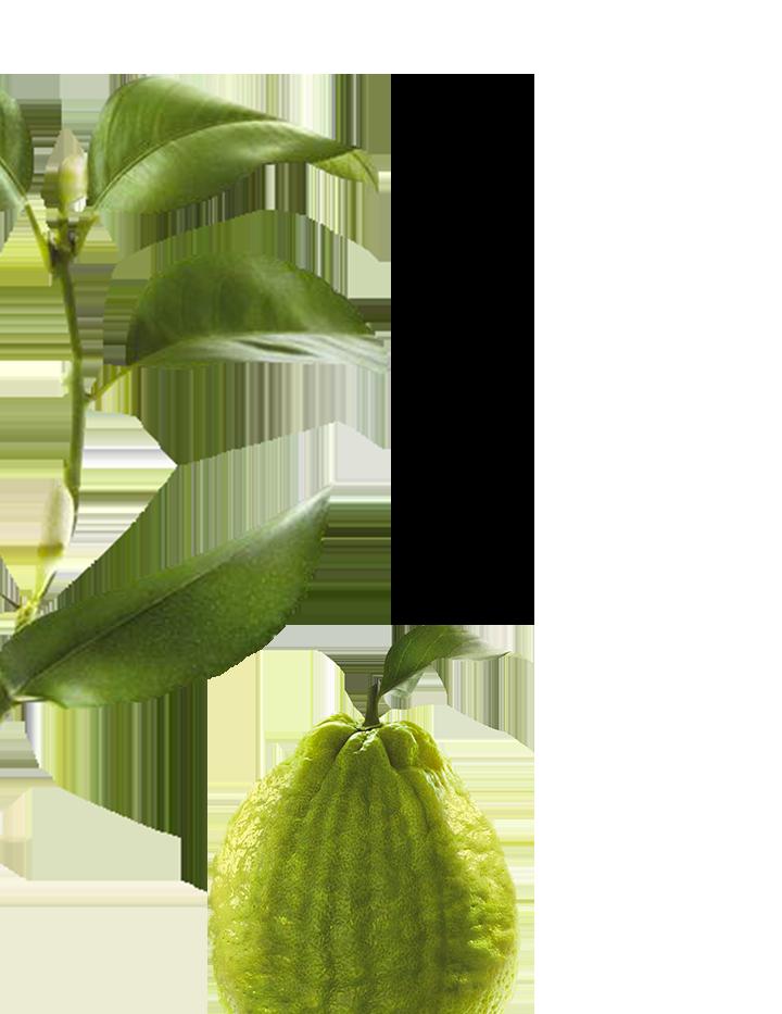Pulpe de cédrat botanique gauche