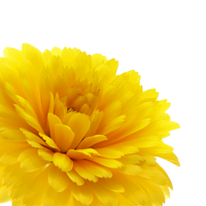 calendula_botanical_left_v2