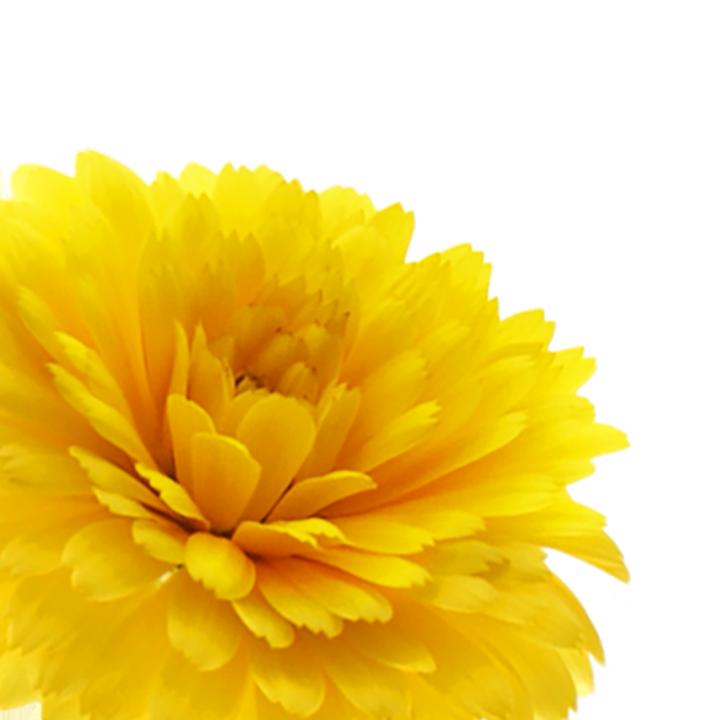 calendula_botanical_left_v2