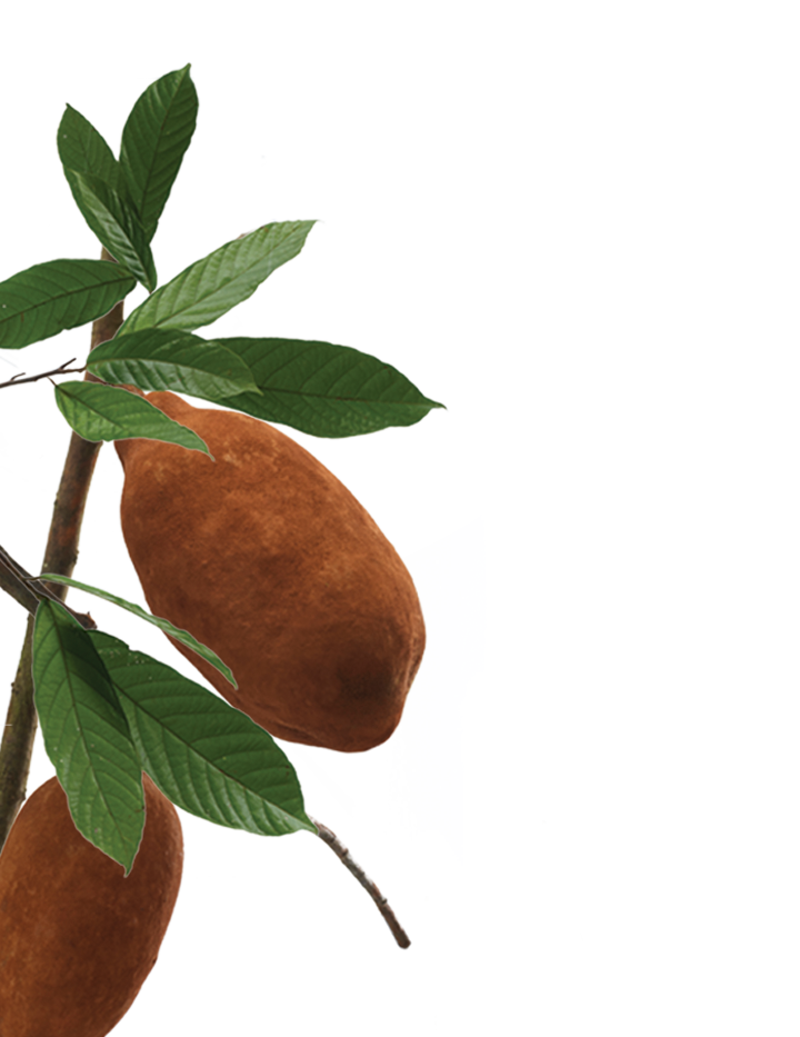 cupuacu-botanical-left.png