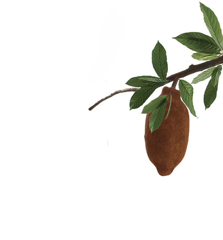 cupuacu-botanical-right.png