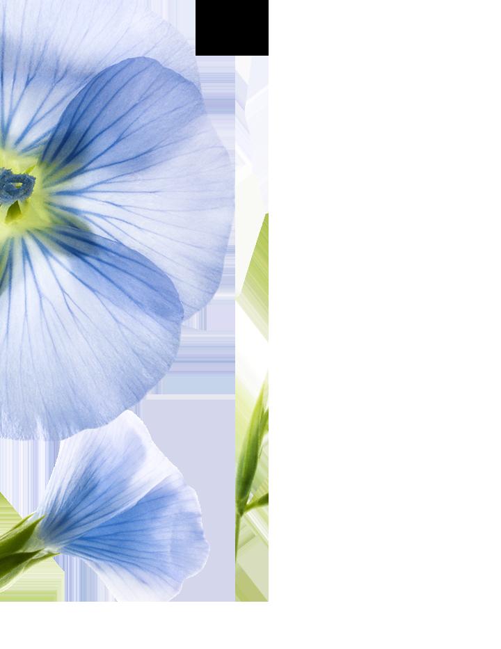 Fibres_de_lin_botanique_gauche