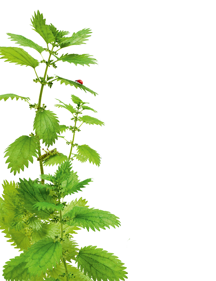 nettle-botanical-left_-new.