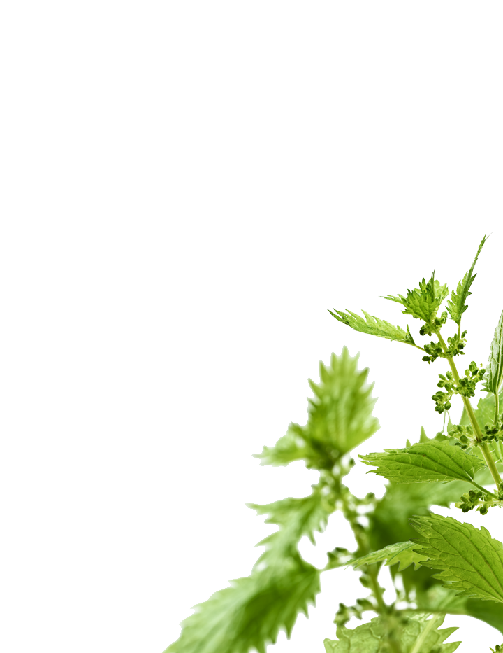nettle-botanical-right-new.