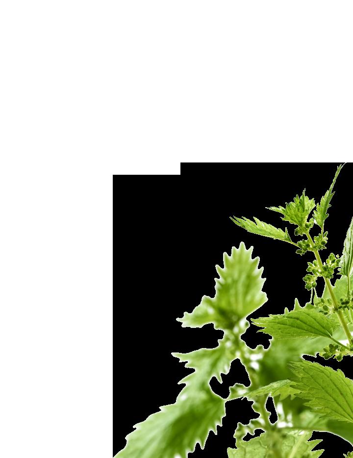 nettle-botanical-right-new.